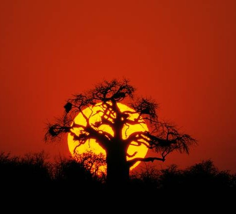 Sunset-Baobab_art